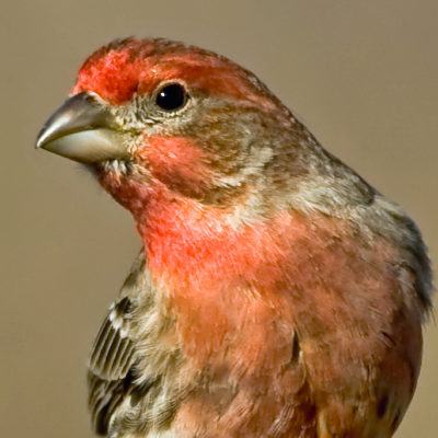 House Finch Song IPhone Ringtone