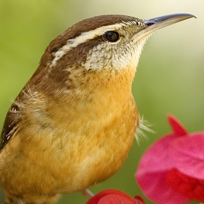 Carolina Wren Bird Song iPhone Ringtone - Wildtones on